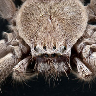 Pictures of Bugs: Huntsman